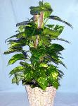 01N Green Plant 8in Pole Pothos